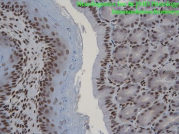 Picture of Mouse Stomach - Antibody HMGB1
