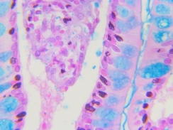 Human sm intestine Alcian blue 40x