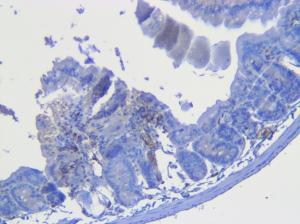 Mouse int Glut2 Antibody