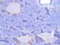 Rat Pancreas Glucagon antibody